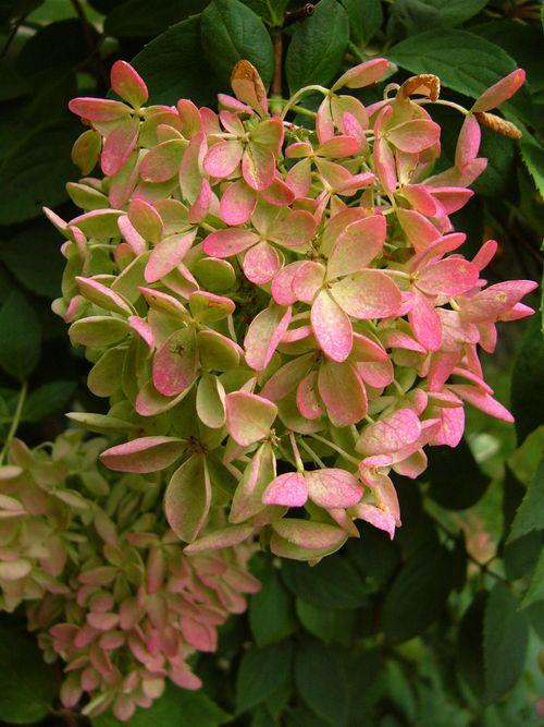 Redtingedflower