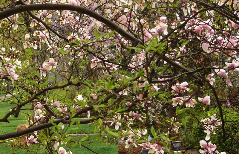 Magnoliacrop