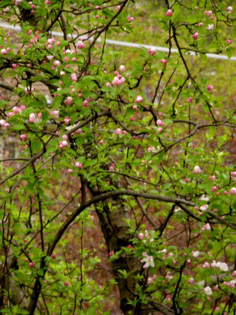 Floweringapple