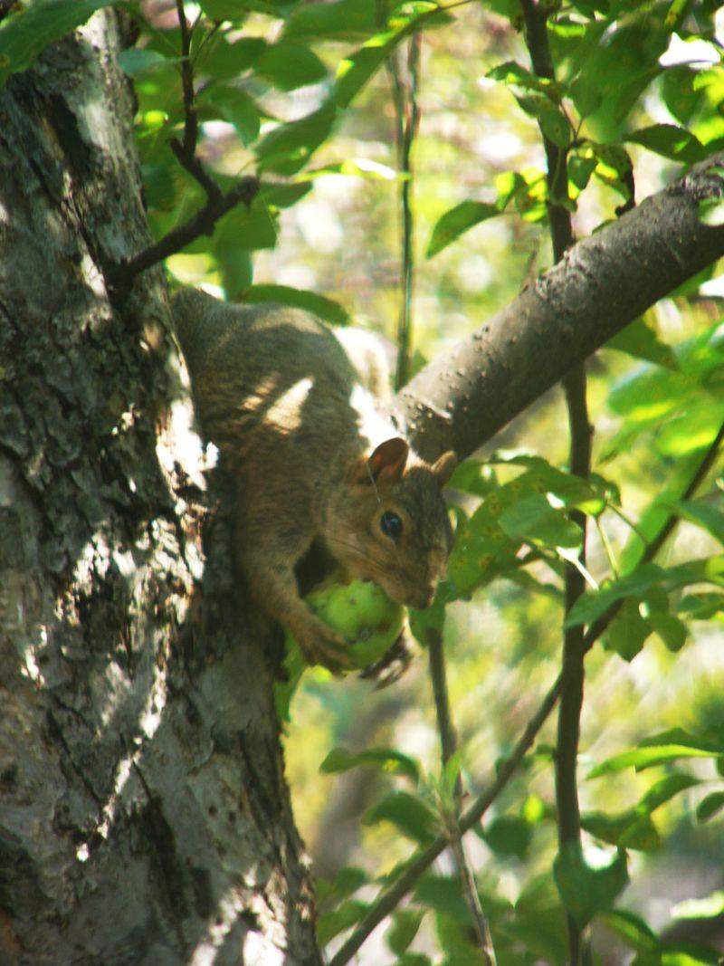 Squirreleatingapples