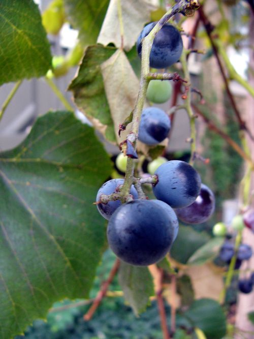 Grape6