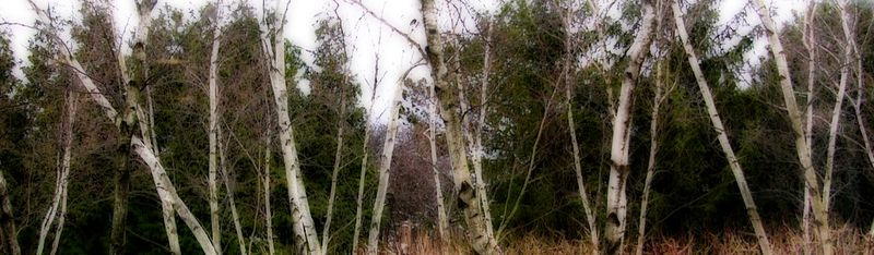 Birches copy