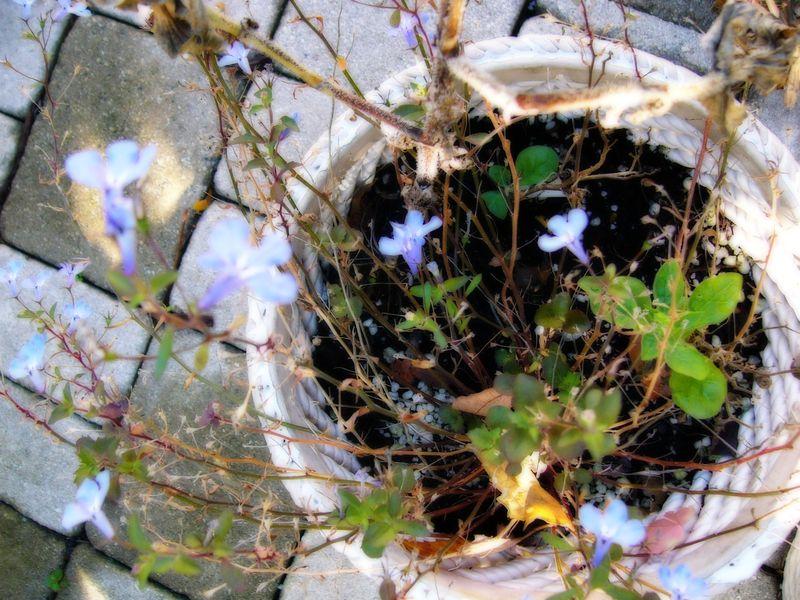 Blueflowers