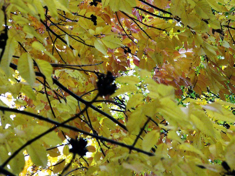 Yellowtree2
