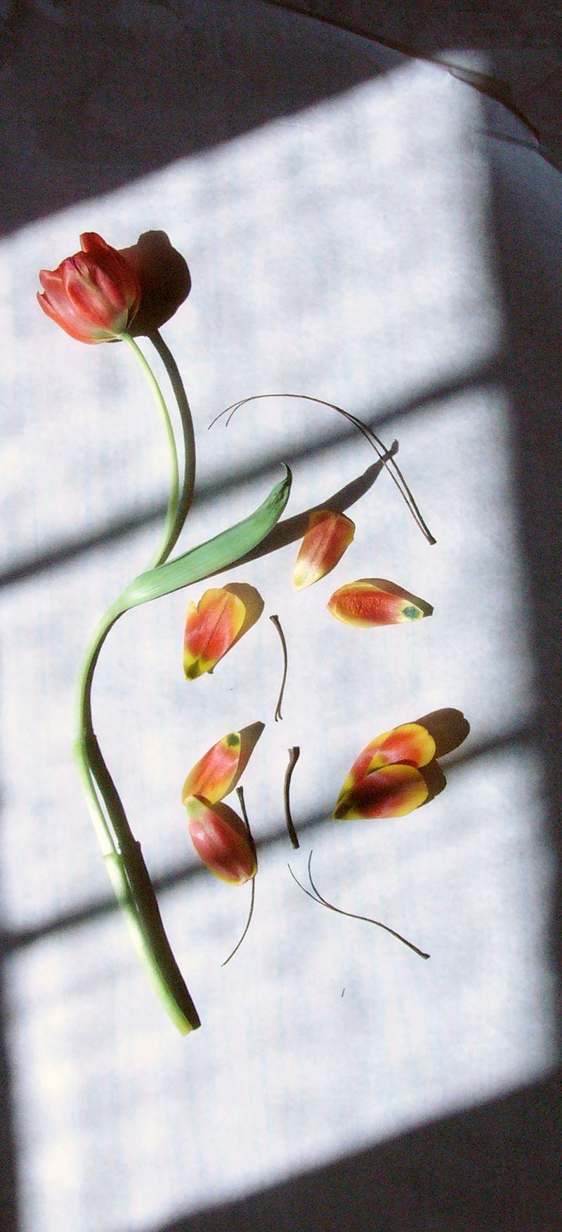 Tulipsredux copy