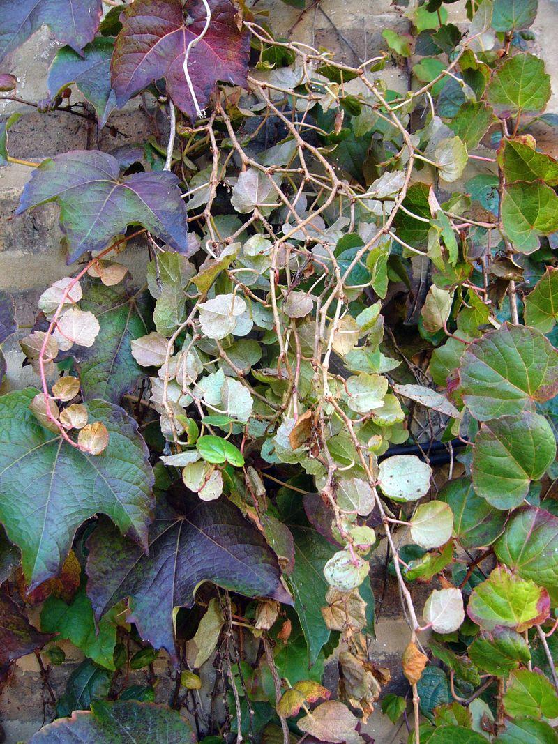 Ivy, fallen